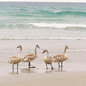 Cygnes à la plage!