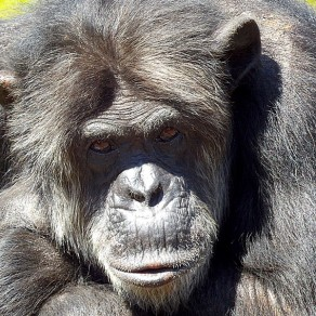 Chimpanzé, regard ténébreux