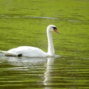 Cygne blanc, ambiance verte