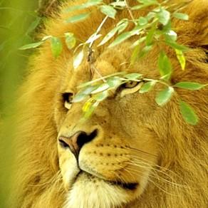 Lion à couvert