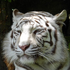 Le tigre blanc veille