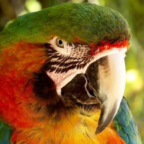 Ara multicolore