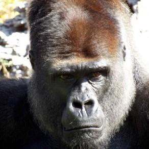 Gorille un brin contrarié