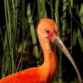 L'ibis se pare de rouge