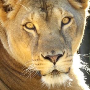 Lionne aux yeux lumineux