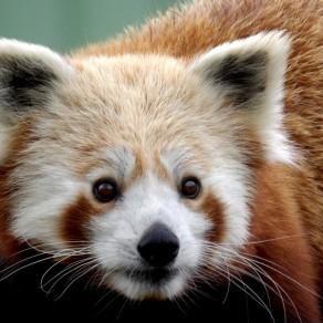 Petit panda, grande sympathie
