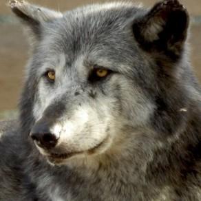 Loup souffre-douleur