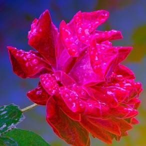 Rosée, rosée, rosace